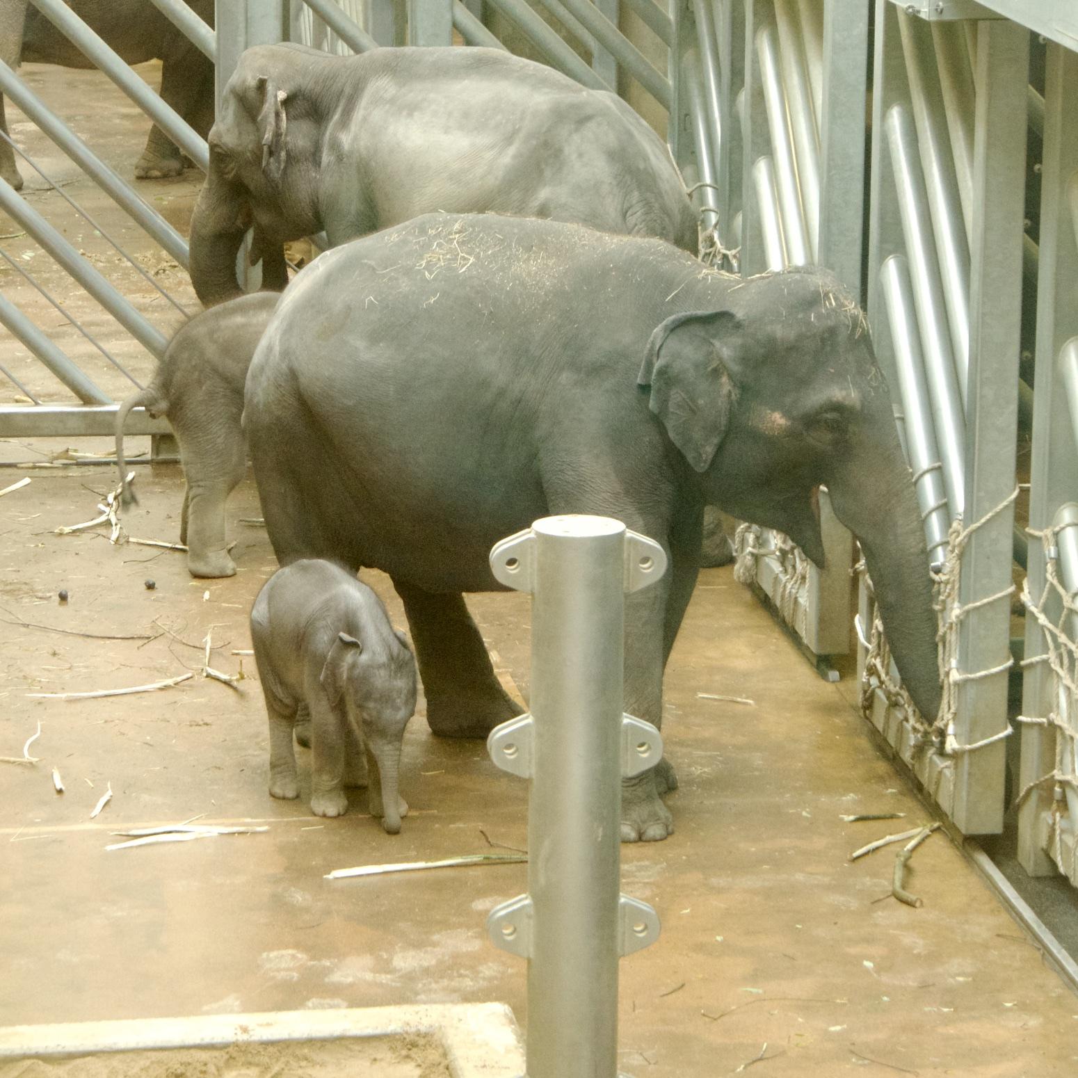 Smějící se sloni